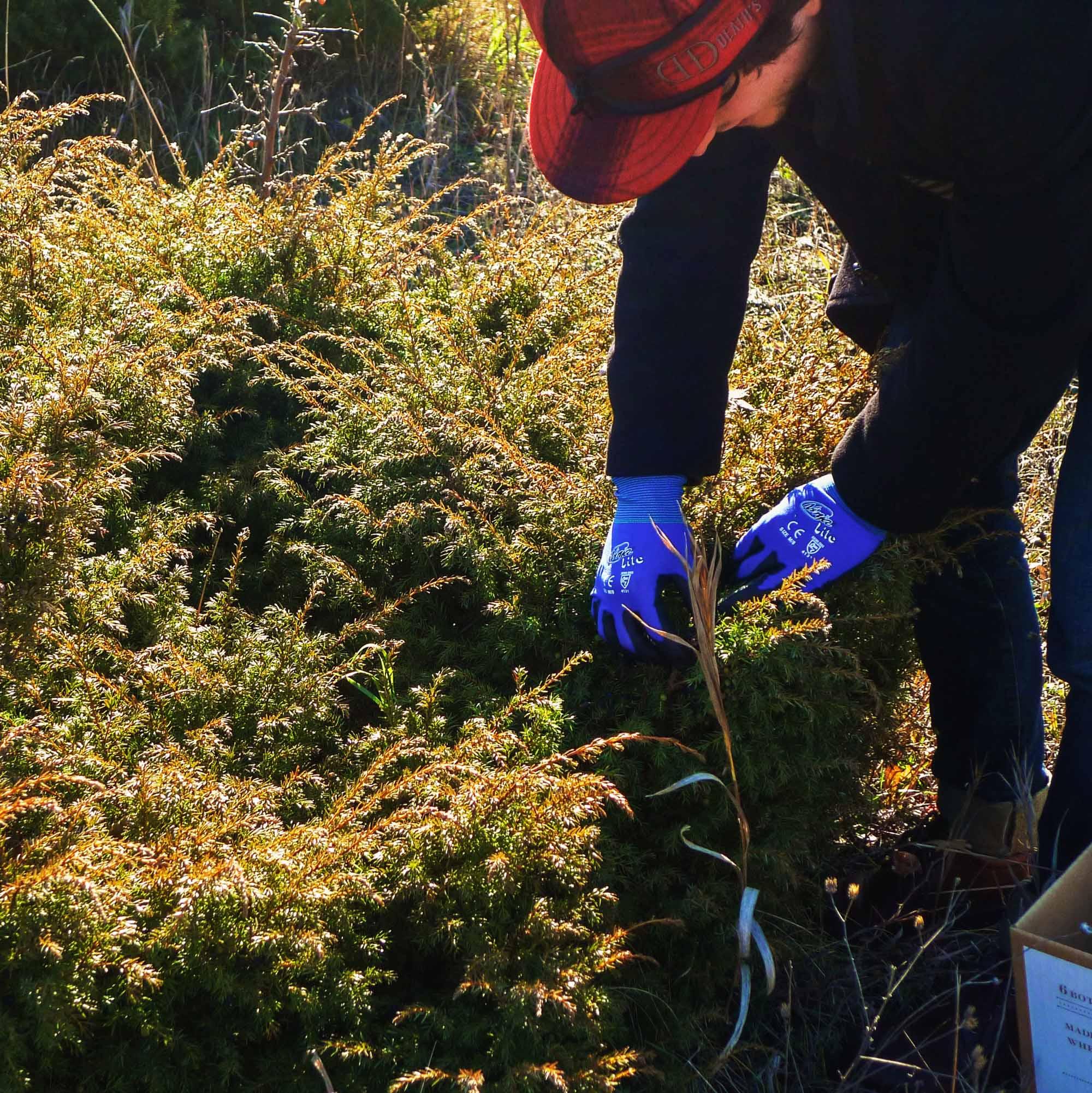Harvesting juniper berries on Washington Island in Door County, Wisconsin. Photo: Boothby