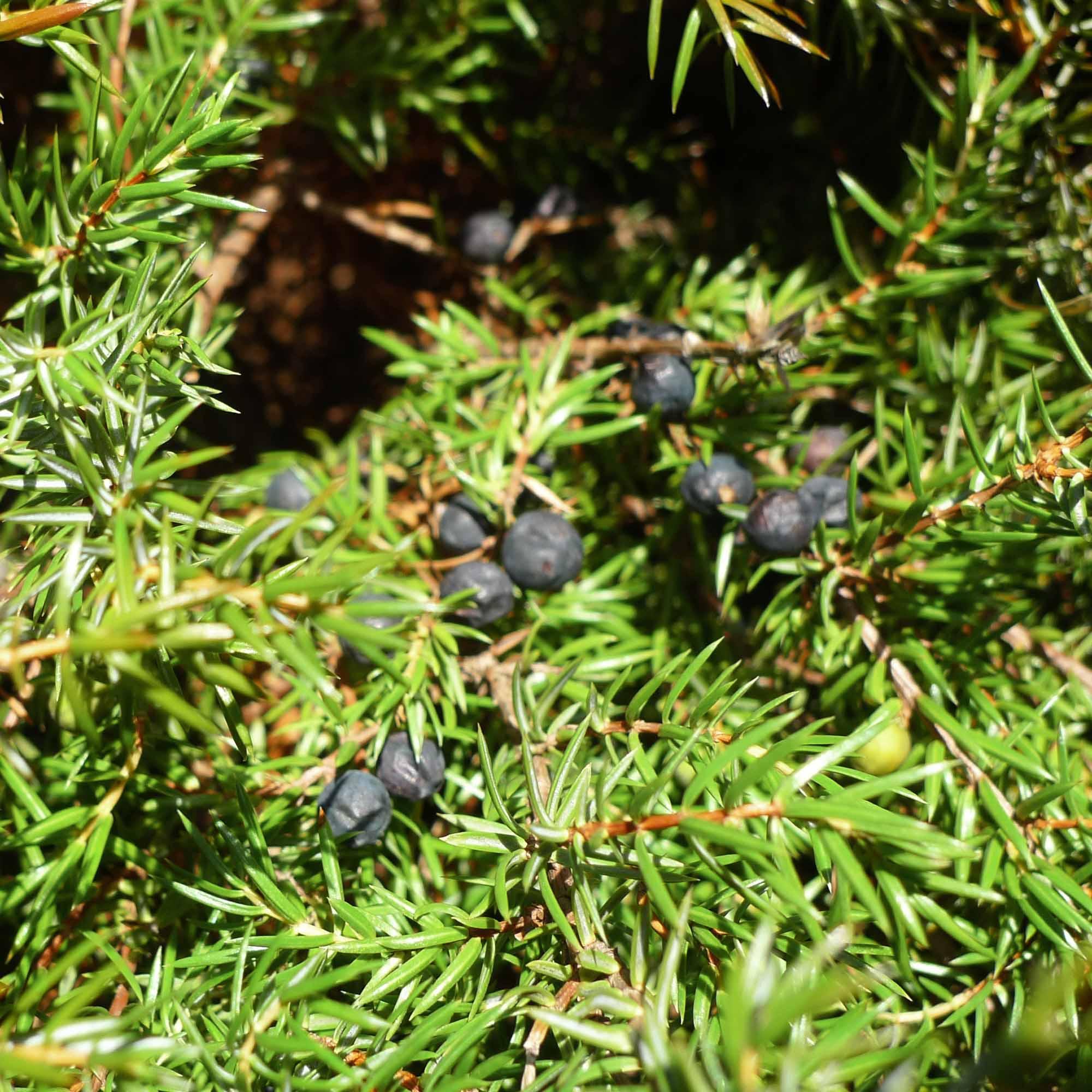 Juniper berries aren't real berries. Photo: Boothby